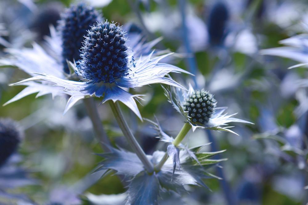 Photo in Nature #blue #thistle #scotland #edinburgh #flower #flowers #weed