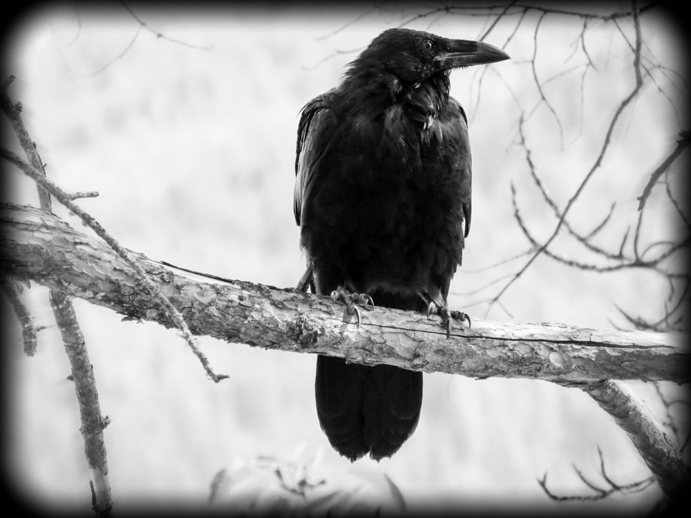 Photo in Black and White #crow #black #bird #frame #animal #feathered #wildlife