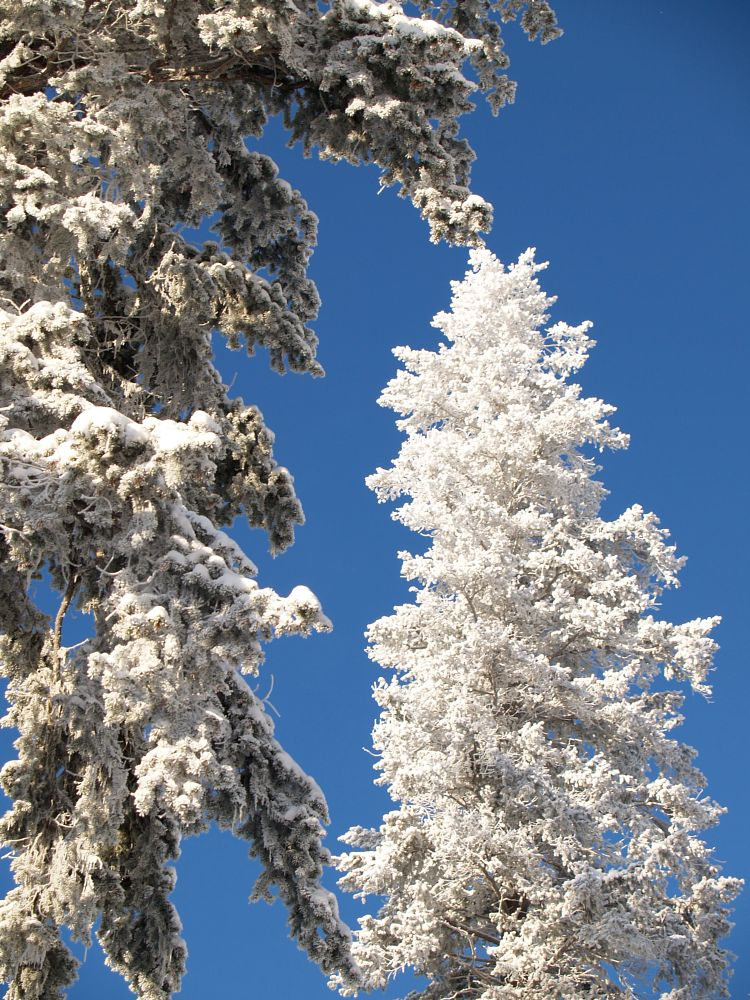 Photo in Nature #winter #cold #snowy #trees #clear #sky