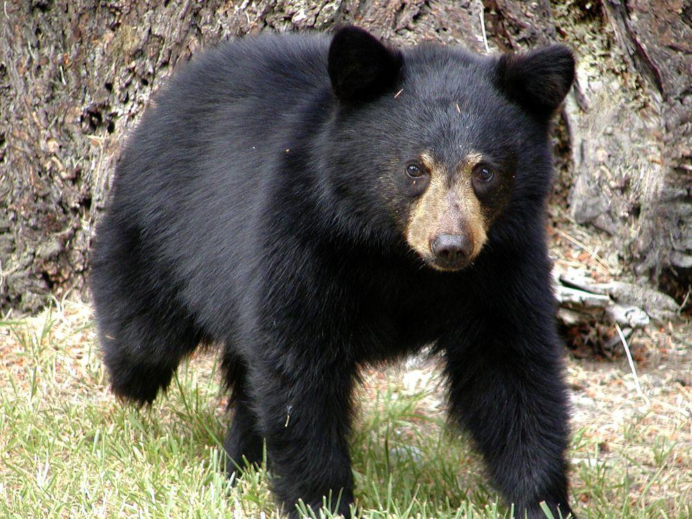 Photo in Animal #black #bear #mammal #wildlife #cub #close up