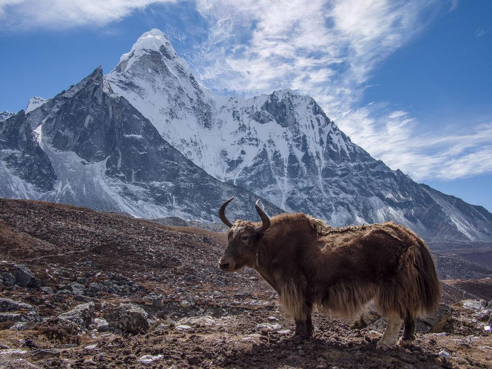Photo in Landscape #nepal #himalaya #himalayas #trekking #hiking #mountains #yak #ama dablam