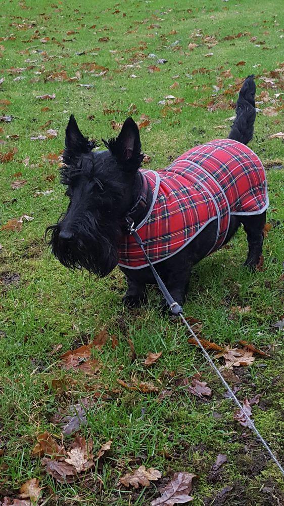 Photo in Animal #wintertime #rain #scottiedog #scottish #grergor #black #winter