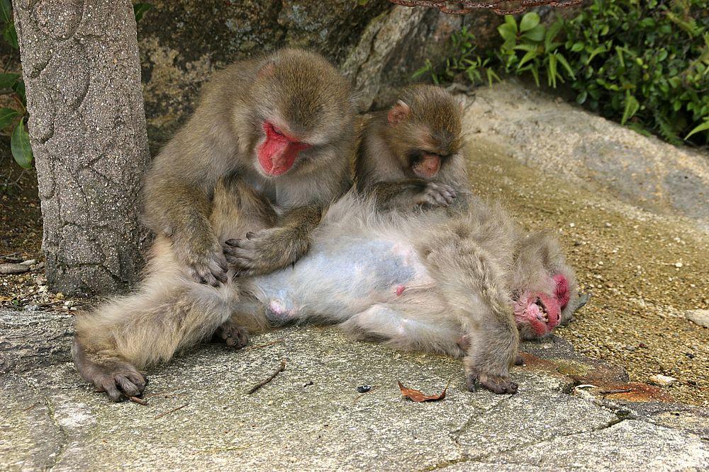 Photo in Animal #monkey #miyajima #japan