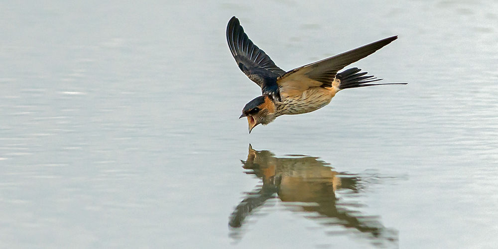 Photo in Animal #red-rumped swallow #swallow #fly #bird