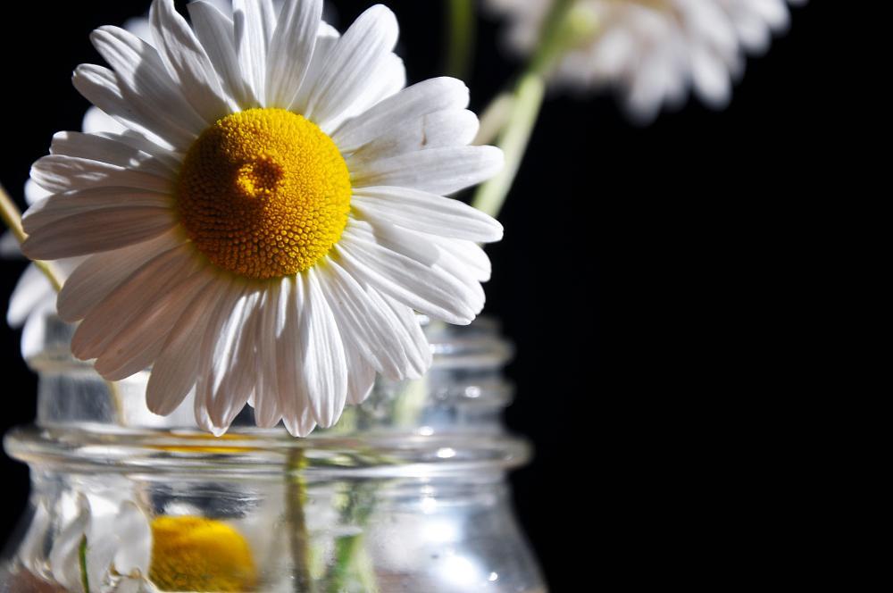 Photo in Random #flower #daisy