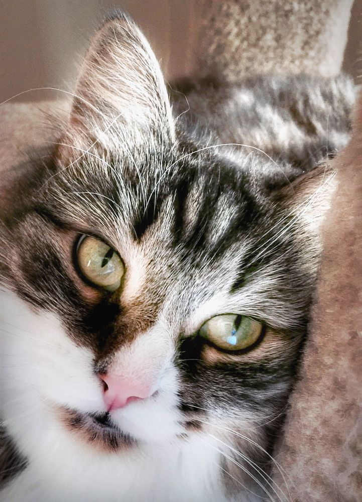 Photo in Animal #siberian cat #cat #cat portrait #cat eyes #sparkly eyes #eyes #cats #feline #kitty #animal #beautiful eyes #melting hearts #pets