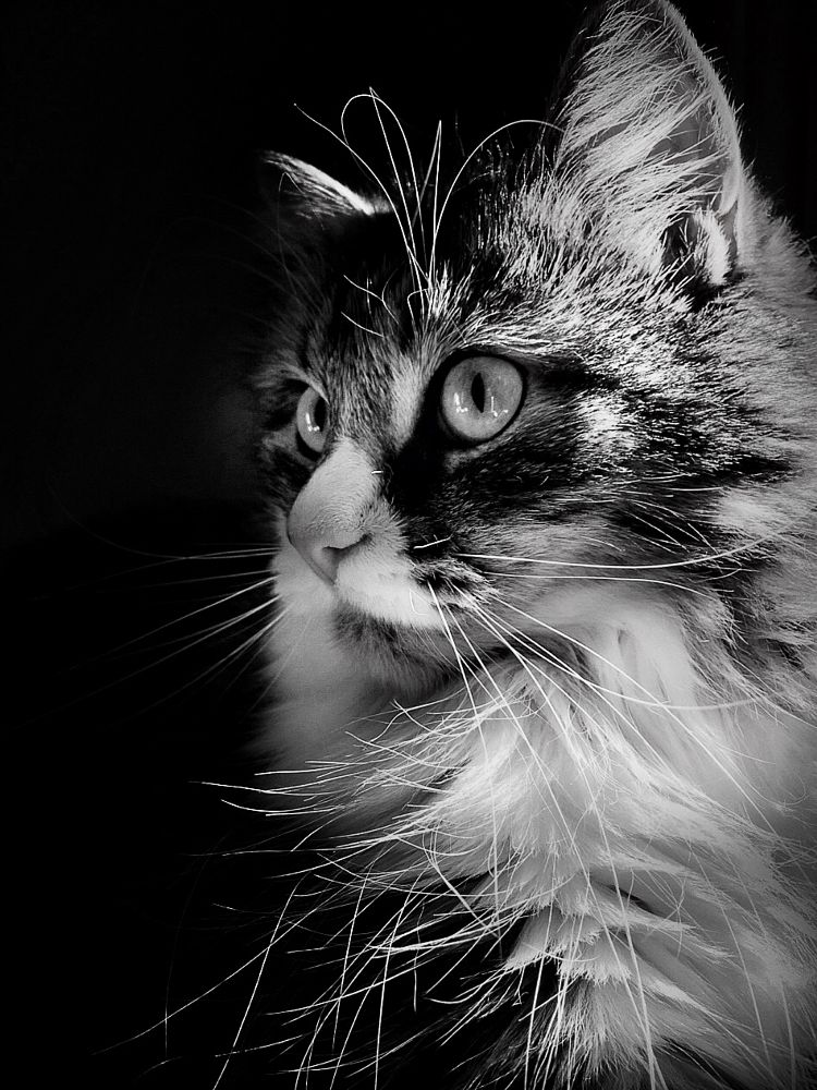 Photo in Animal #siberian cat #cat #cats #kitty #feline #cat portrait #black and white #black and white portrait #cat portraits #mia #animal #animal portrait #portrait #pets #light