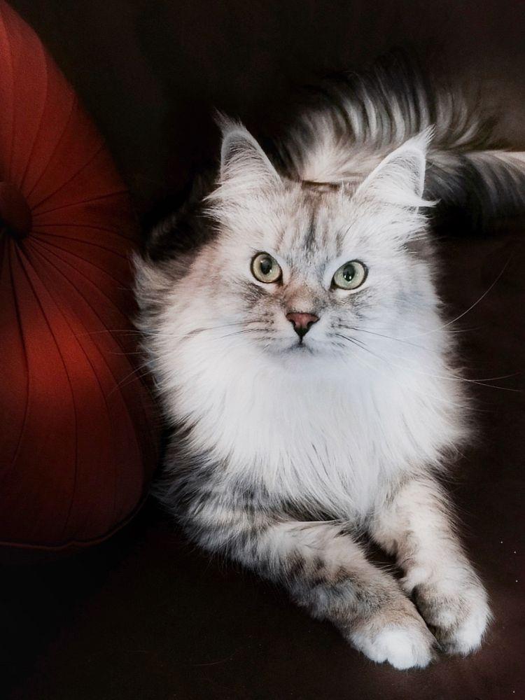 Photo in Animal #siberian cat #cat #cats #animal #feline #kitty #max #pets #cat portrait #cat portraits #cat eyes #cat pose #cat model #handsome