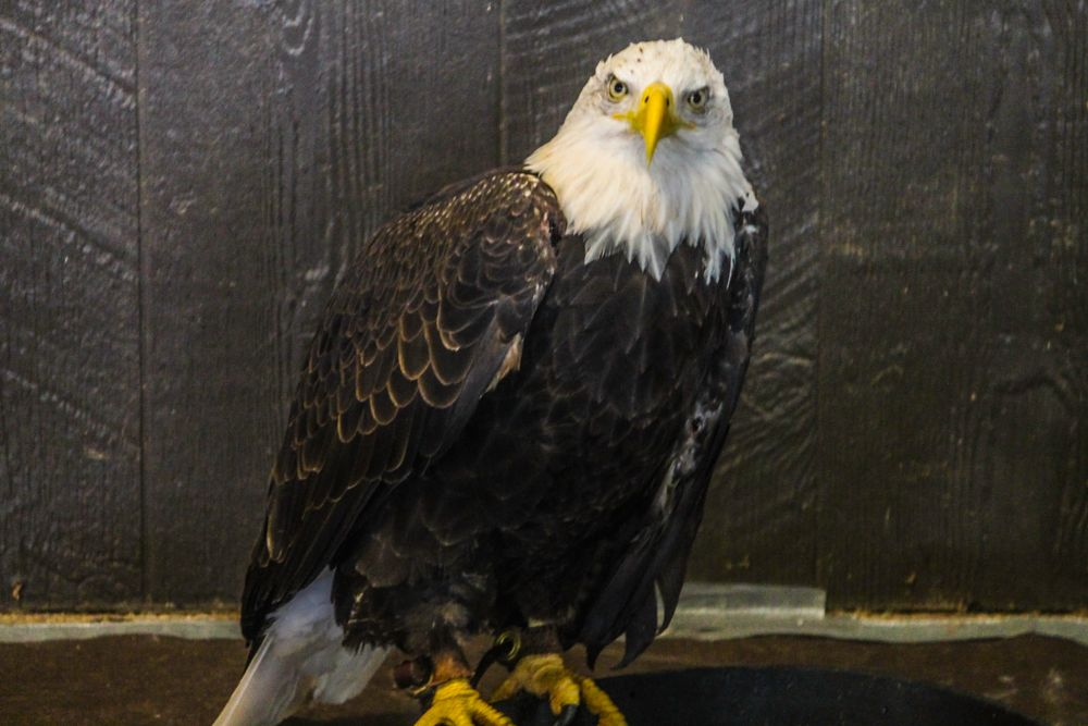 Photo in Animal #bald #eagle #gaze #attitude #strength