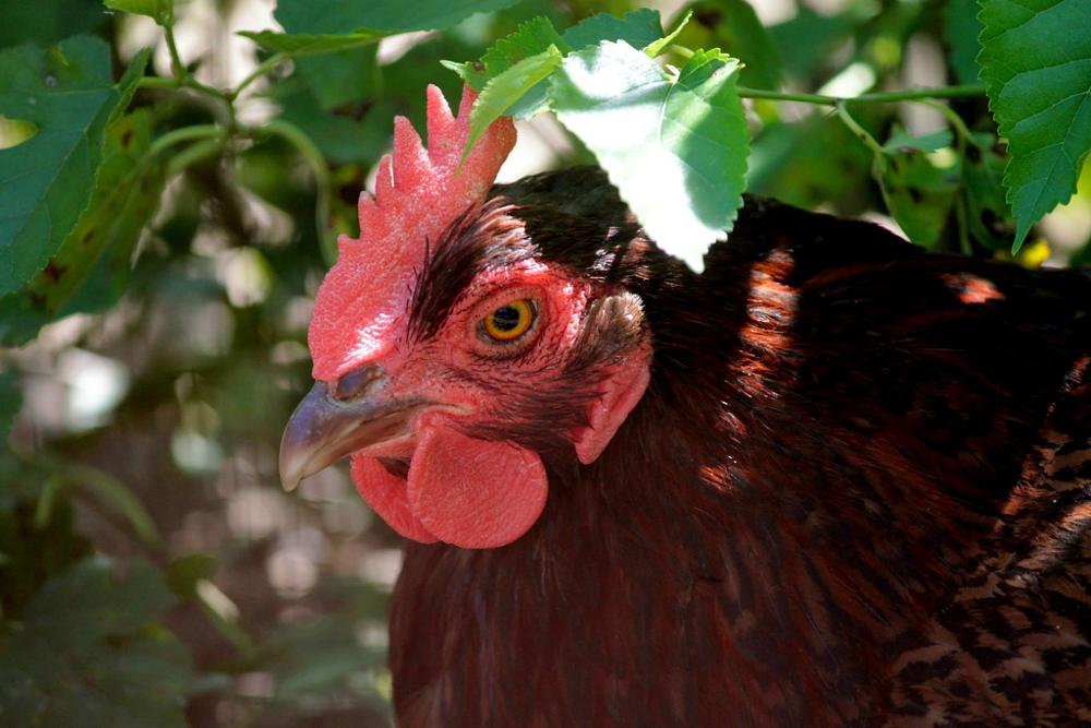 Photo in Animal #rooster #leaves #nature