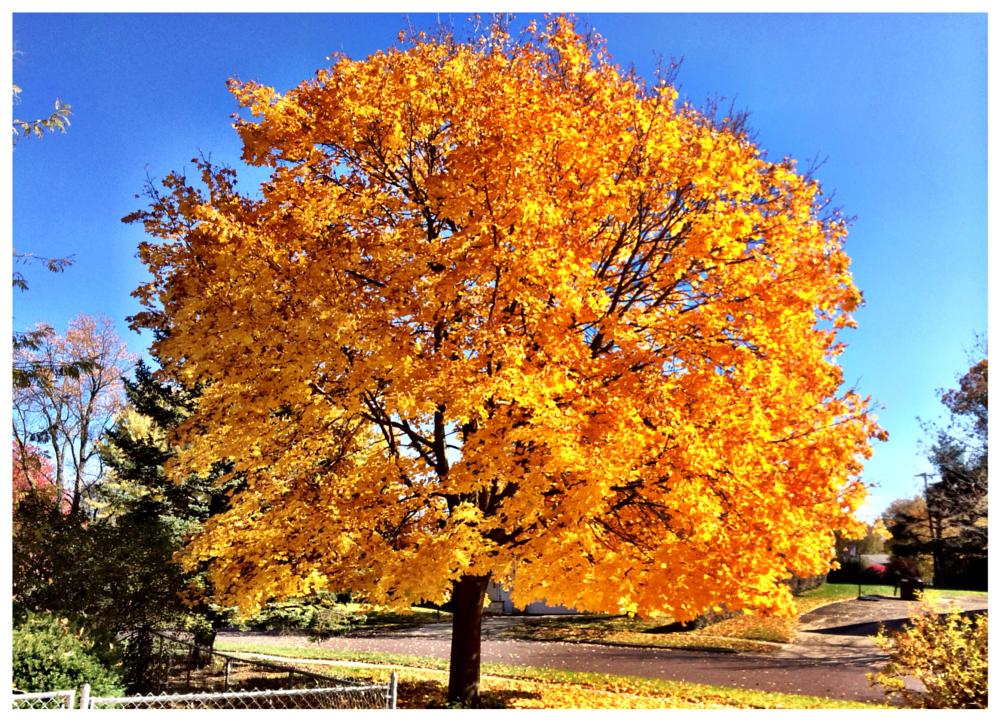 Photo in Nature #tree #fall #golden #bright