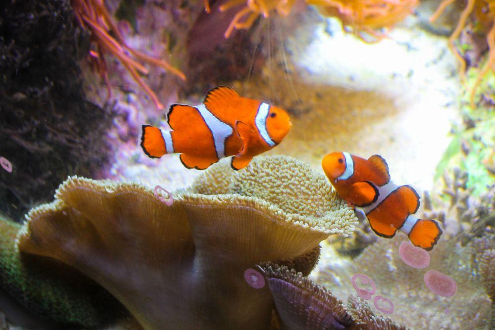 Photo in Underwater #clown #fish #nemo #shedd #chicago