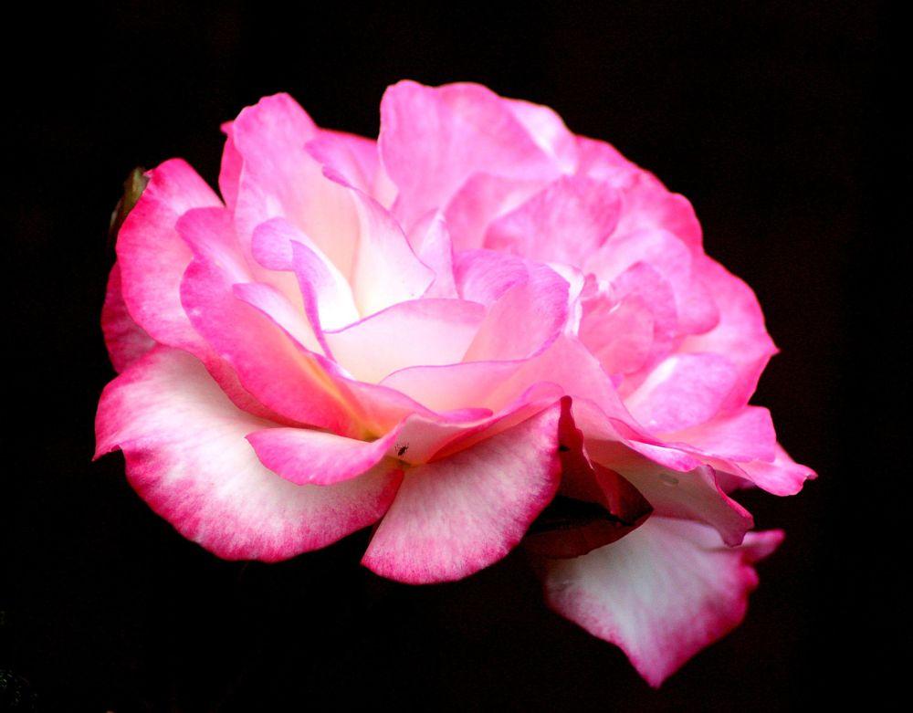 Photo in Random #flowers #roses #blooms