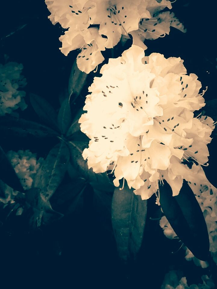 Photo in Black and White #white flower #edit #bright #flower