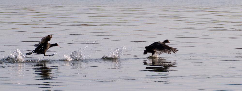 Photo in Nature #coot water bird walking f