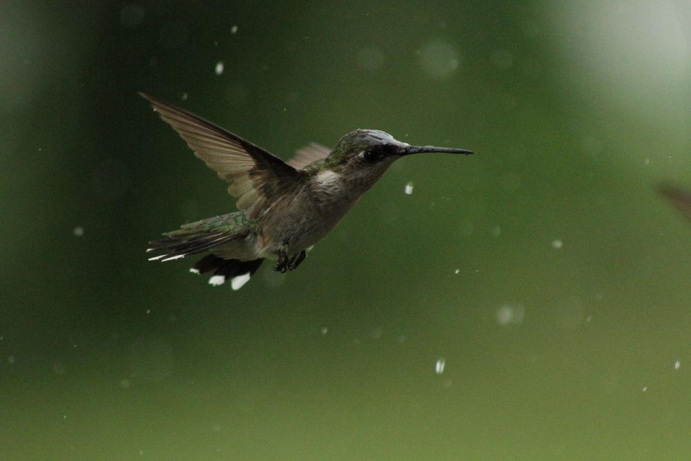 Photo in Animal #hummingbird #rain #wet