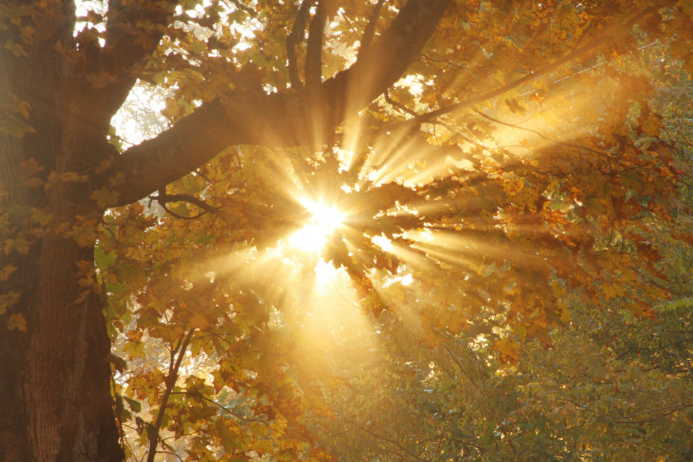 Photo in Nature #sun #rays #light #beams #mood #autumn #fall #leaves #trees #nature #morning #warm #burst #fog #mist