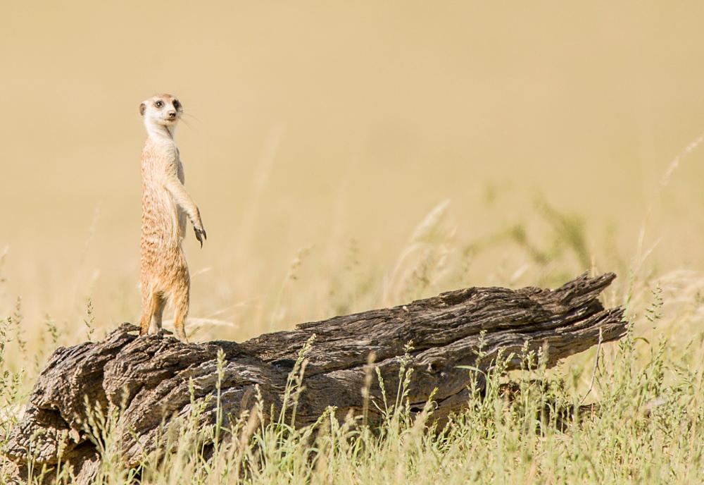 Photo in Animal #suricate #bridgena #animals #wildlife #meerkat #nature