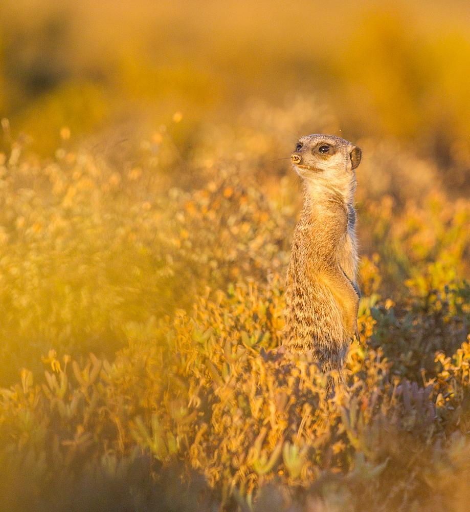 Photo in Animal #meerkat #suricate #bridgena #nature #wildlife #animals #golden #light
