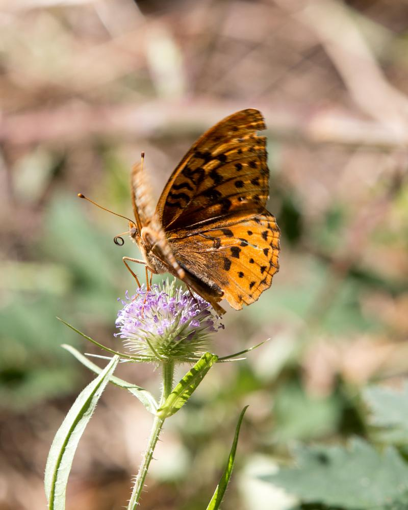 Photo in Nature #butterfly #orange #macro #nature #insects