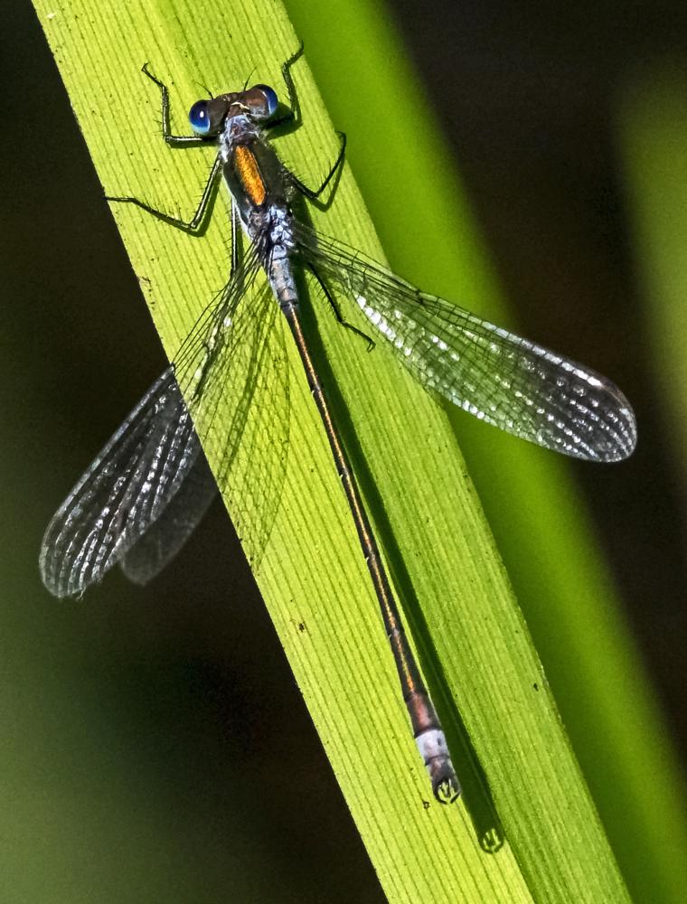 Photo in Nature #insect #damselfly #nature #dragonfly #wildlife #outdoor