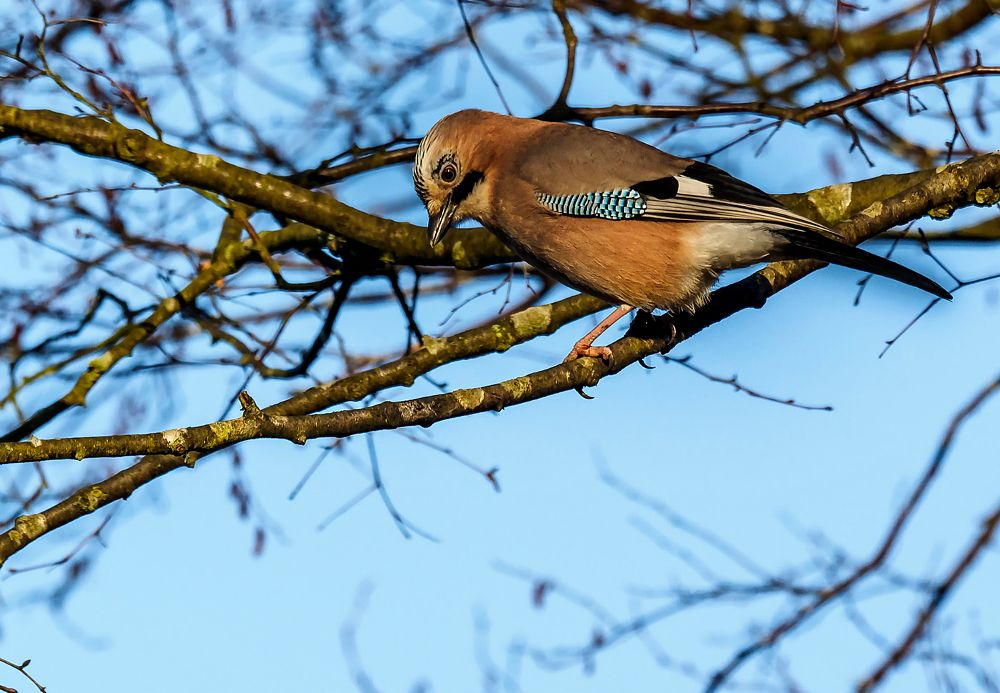 Photo in Animal #jay #garrulus glandarius #bird #animal #nature #wildlife