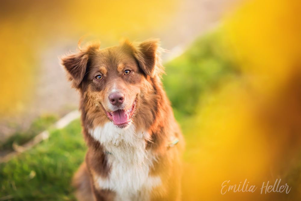 Photo in Animal #dog #dogs #domesticated #animal #animals #domesticated animals #australian shepherd #aussie #full frame #nikon #flower #flowers #yellow #golden hour #natural light #cute