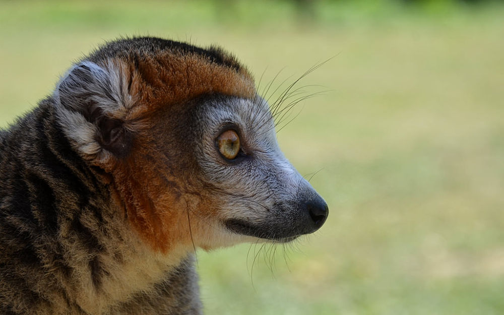 Photo in Animal #lemur #portrait