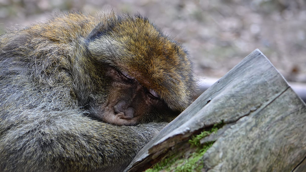 Photo in Animal #barbary #macaque #sleeping