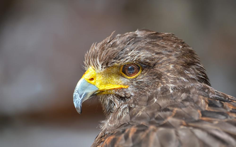 Photo in Animal #harris #hawk #parabuteo #unicinctus #portrait #closeup #nikon #d7000