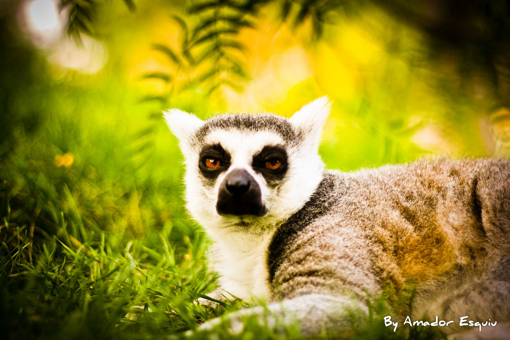 Photo in Random #lemur #spain #valencia #ypa2013 #amadoresquiu #amador esquiu #bioparc #wildlife
