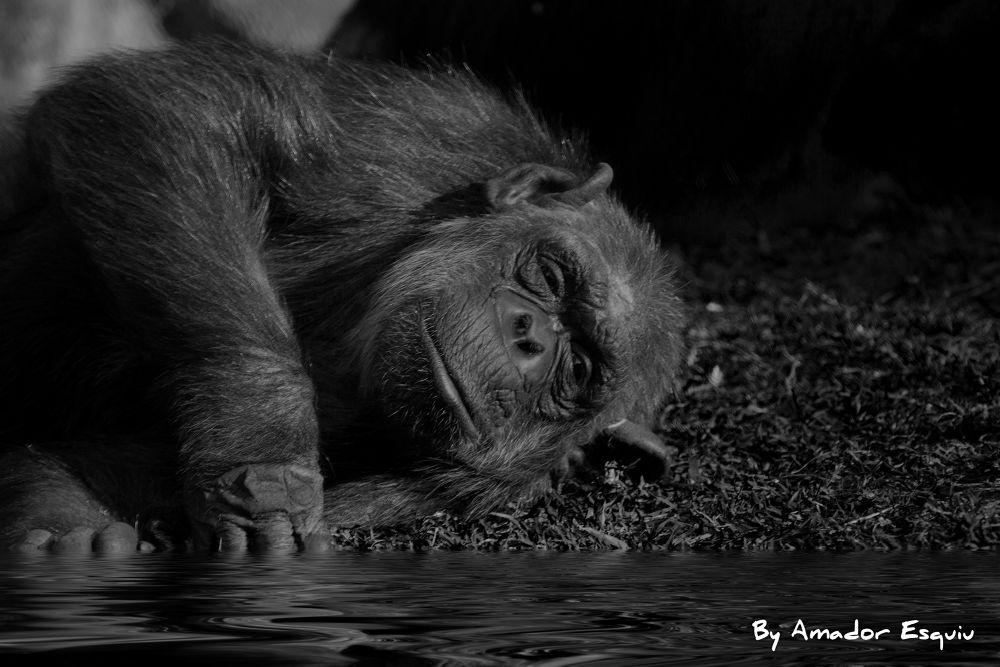 Photo in Animal #chimpancé #chimpancee #animal #wildlife #relax #water #valencia #bioparc #amadoresquiu #amador esquiu #b&w #black and white #ypa2013