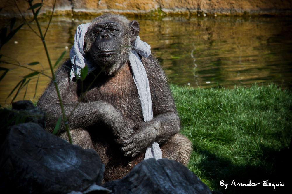 Photo in Animal #animal #cimpancé #chimpancee #valencia #ypa2013 #bioparc #amadoresquiu #amador esquiu