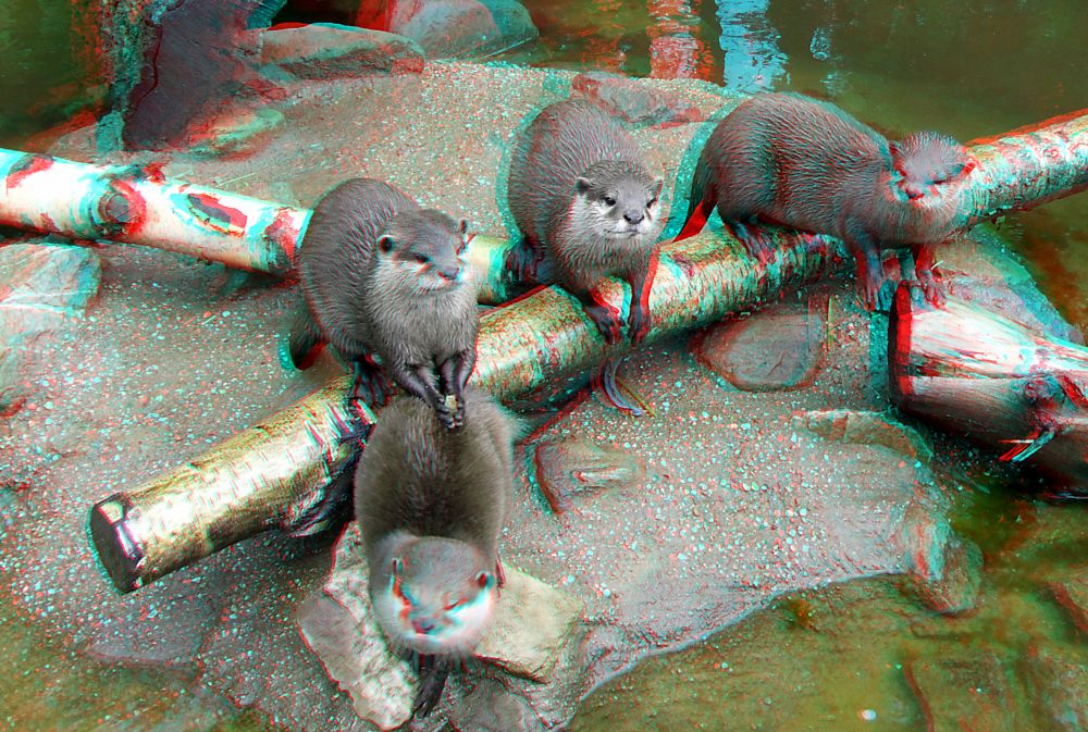 Photo in Animal #otter #plaswijckpark #3d #anaglyph #stereo #animal