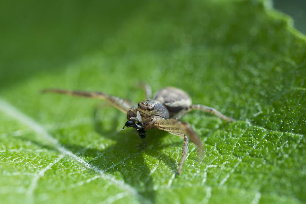 Photo in Macro #macro #spider #fly #leaf
