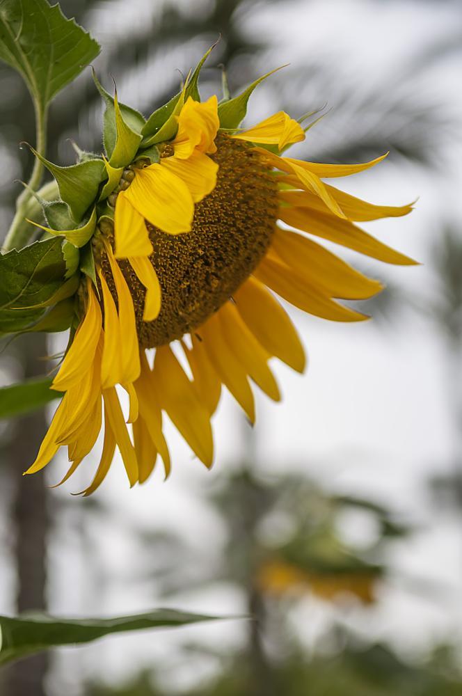 Photo in Nature #sun #sunflower #flower #nature #natural #green #look #sunlight #land
