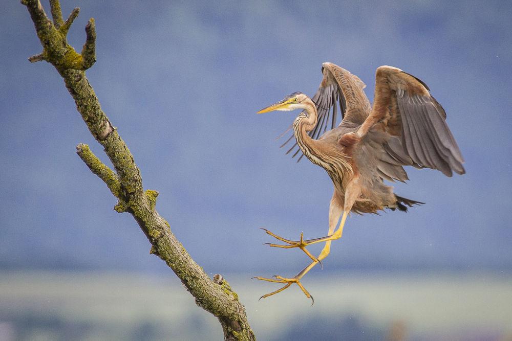 Photo in Animal #purple heron