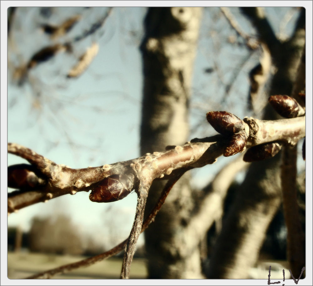 Photo in Nature #spring #winter -> spring #nature #trees #buds