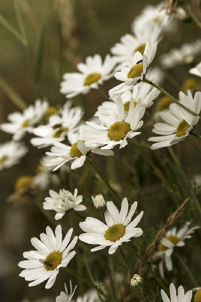 Photo in Nature #flower #daisy #wild