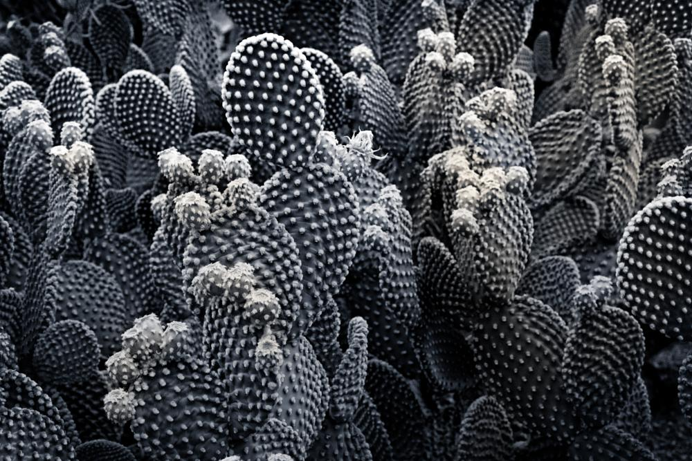 Photo in Black and White #cactus #arizona #botanicals #b&w
