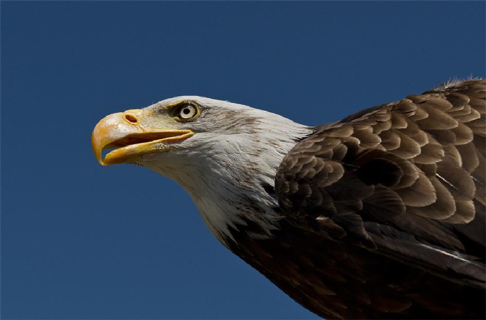 Photo in Animal #eagle #eagle eye