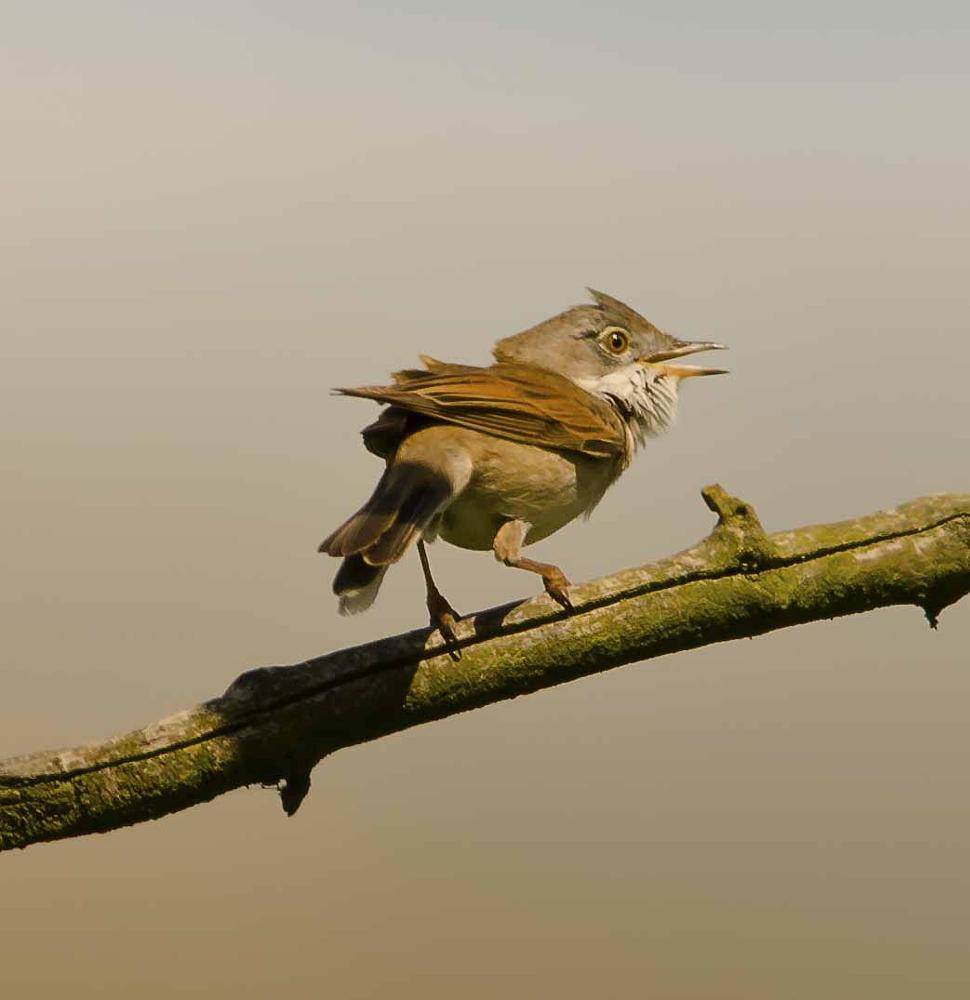 Photo in Nature #white throat #bird on a stick #bird singing