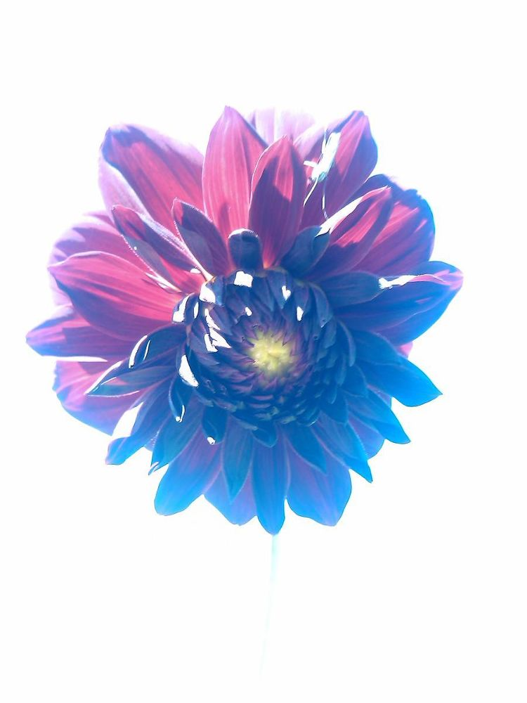 Photo in Nature #dahlia #flower #backlight image #outdoor