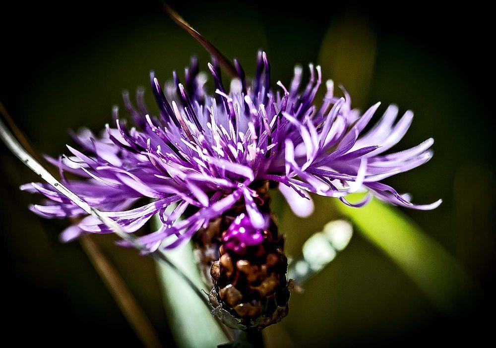 Photo in Macro #meadow flower #macro #nature