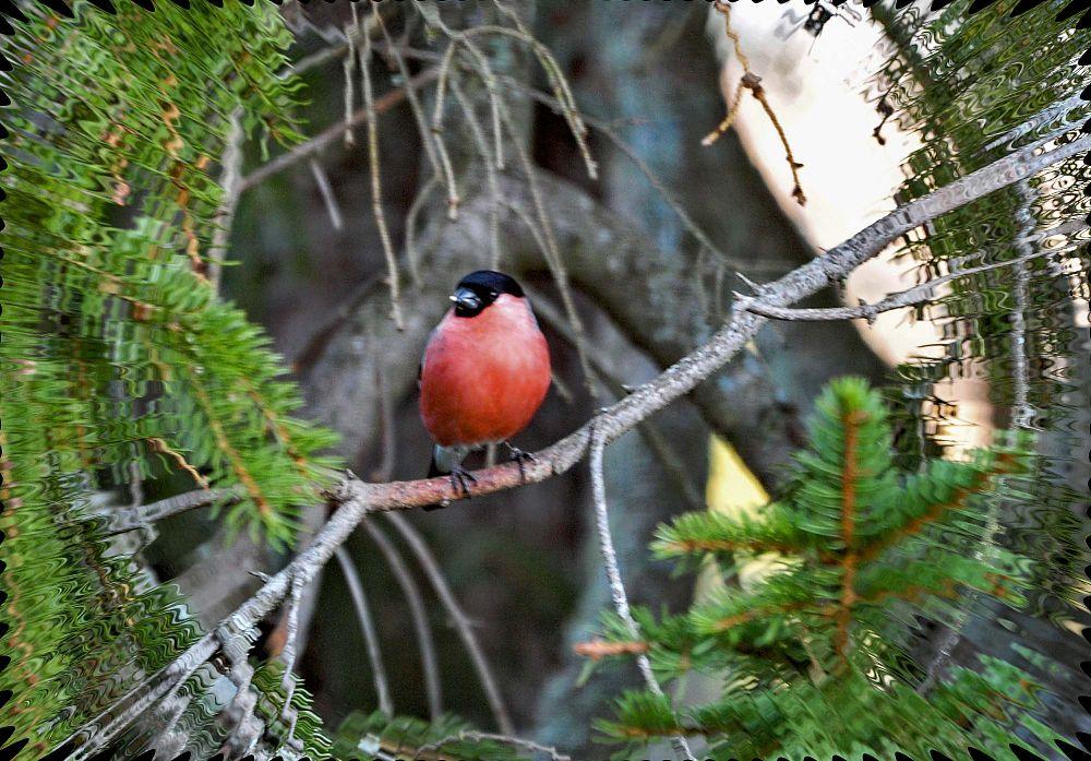 Photo in Nature #bird #bullfinch #nature