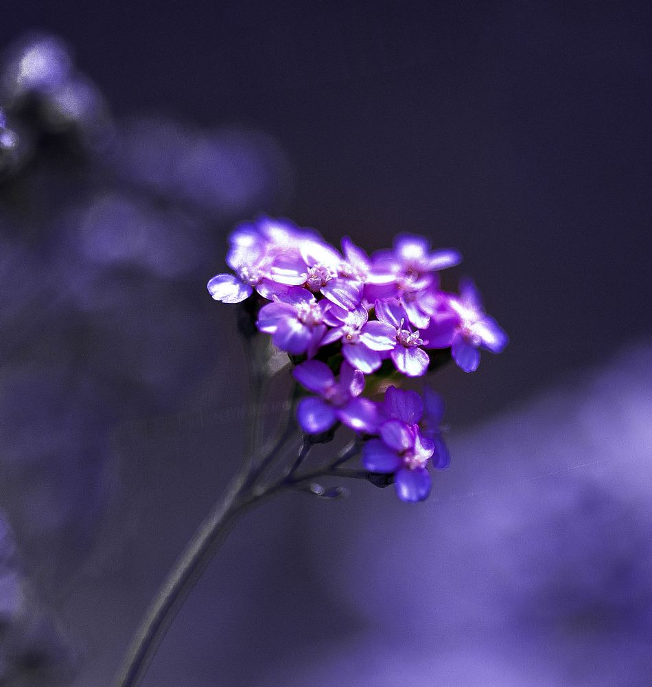 Photo in Nature #yarrow #weed #flower #blue