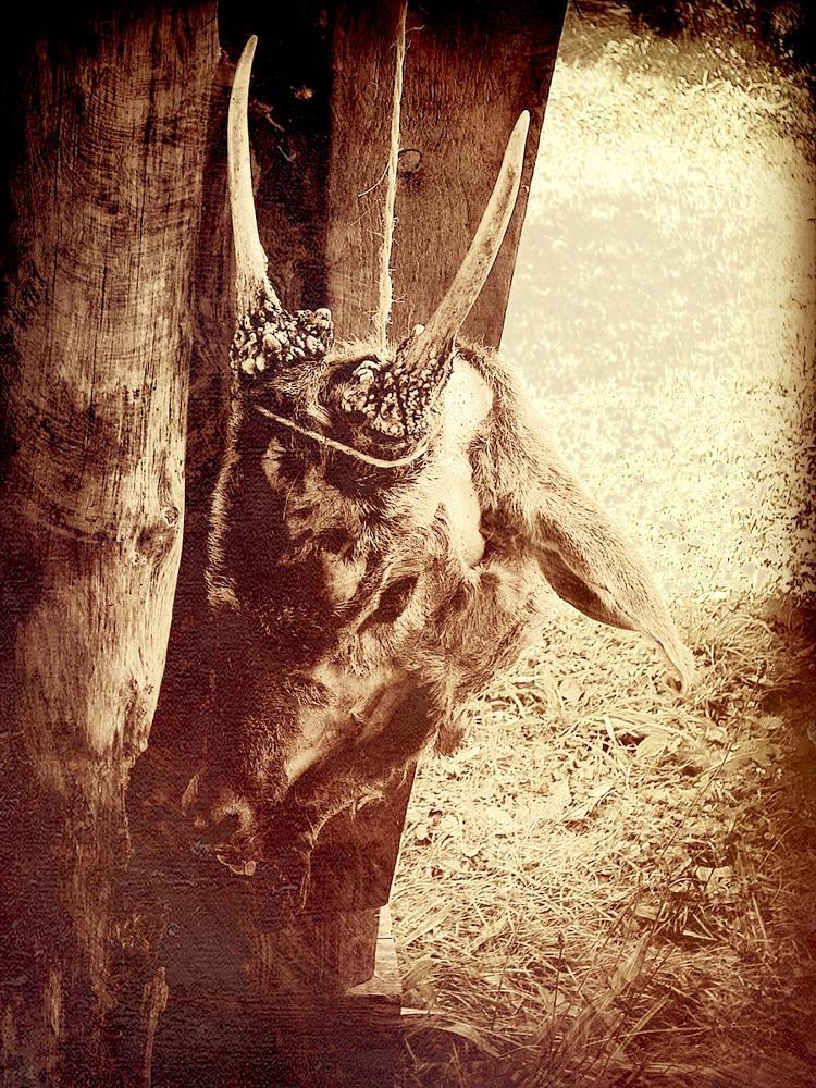 Photo in Still Life #ox #sacrifice #story