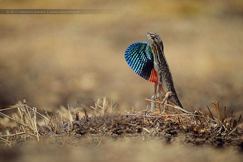 Photo in Nature #ypa2013 #fan #throated #lizard #sitana #ponticeriana #india #maharashtra