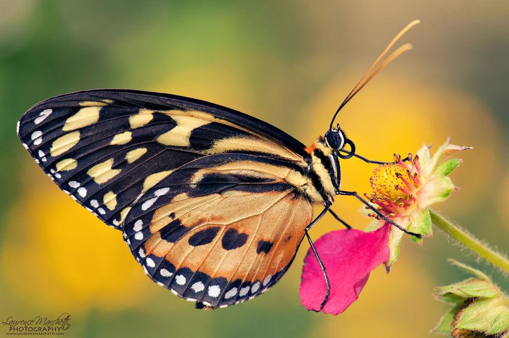 Photo in Macro #butterfly #tiger longwing #macro #flower #summer #d90 #nikon #heliconius ismenius #wings