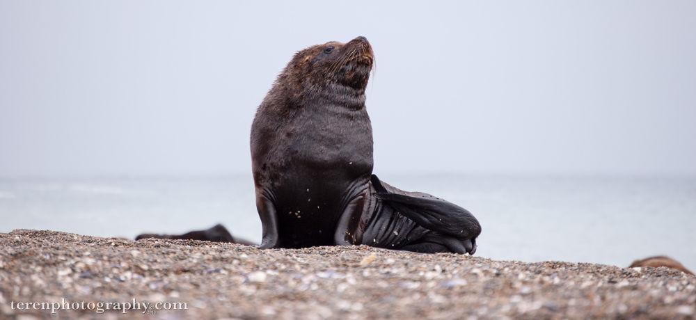 Photo in Animal #sea lion #argentina #southern sea lion #valdes #peninsula